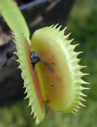 Dionea la pianta carnivora for Pianta carnivora dionea